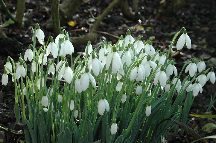 The snowdrop season begins